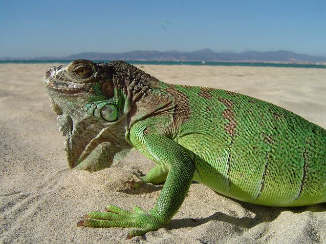 Iguana in s`Arenal Teil 2
