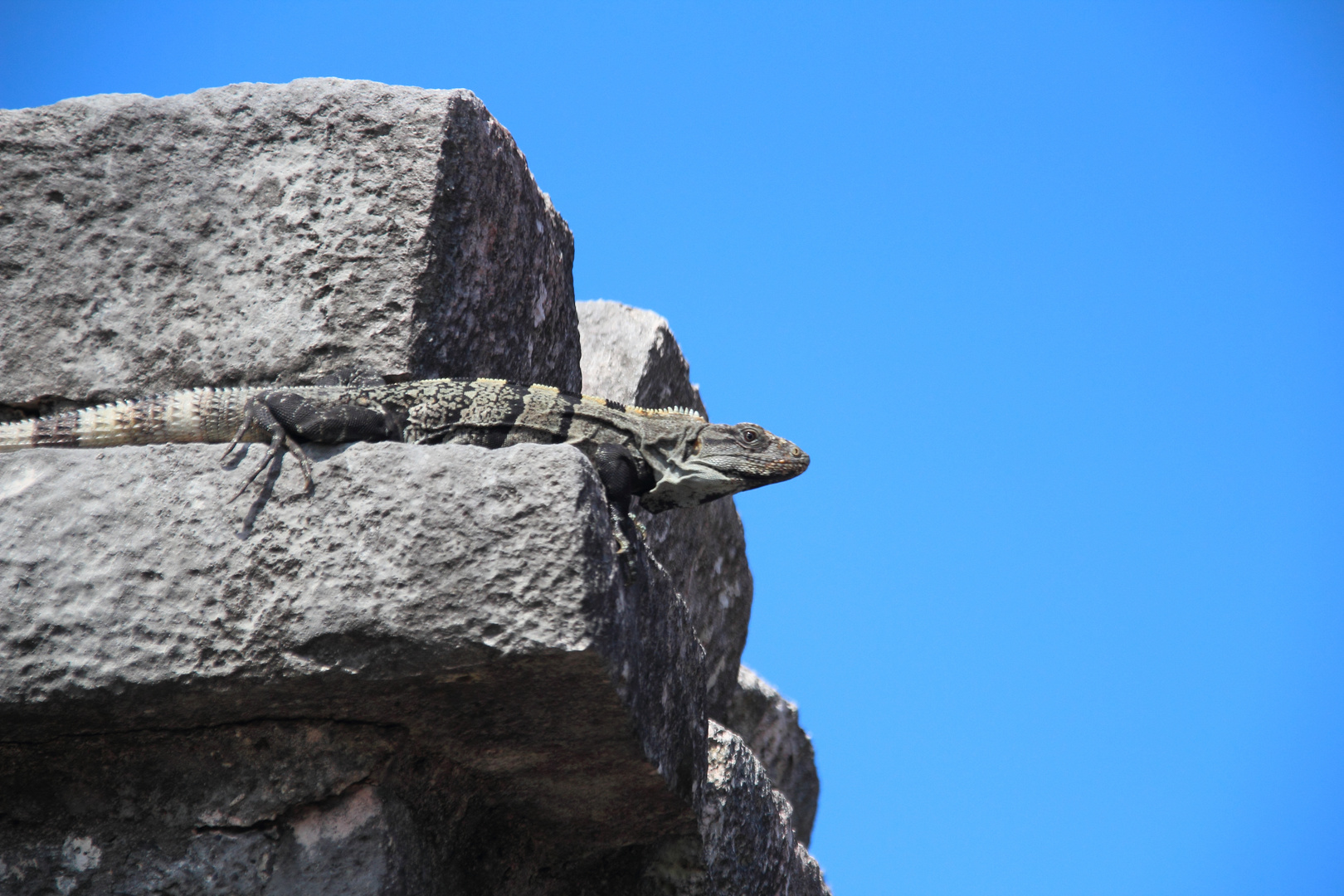 Iguana negro am Tempel von Tulum,Mexiko