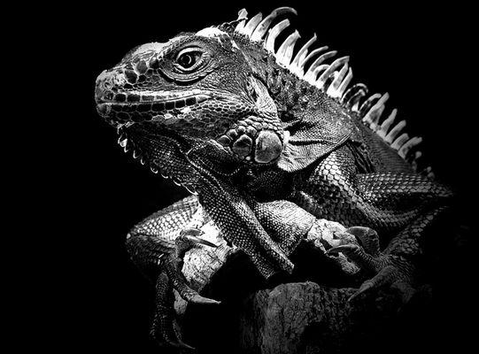 Iguana Spot