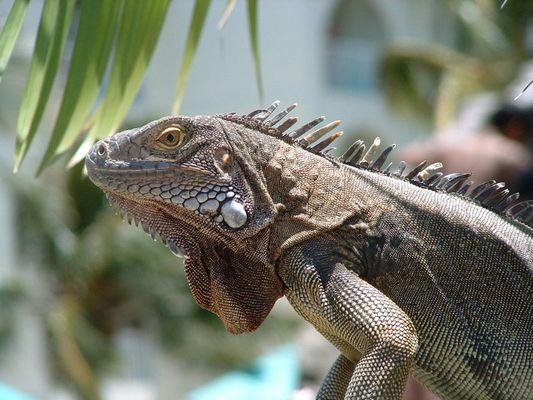 Iguana von Aruba