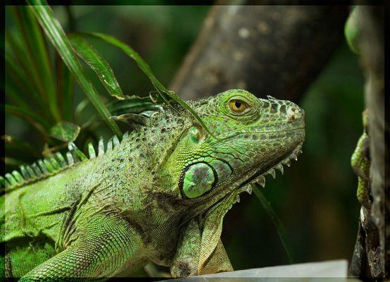 IguanaJoe