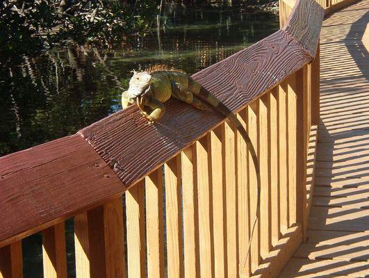 Iguana(Miami seaquarium)