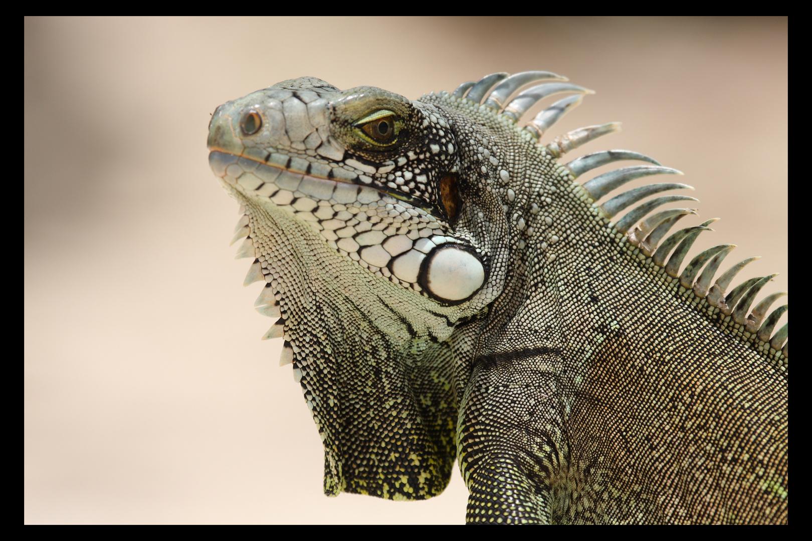 Iguane (2)