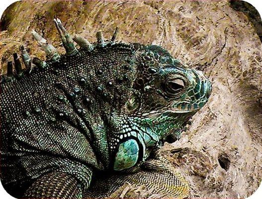 Iguane.