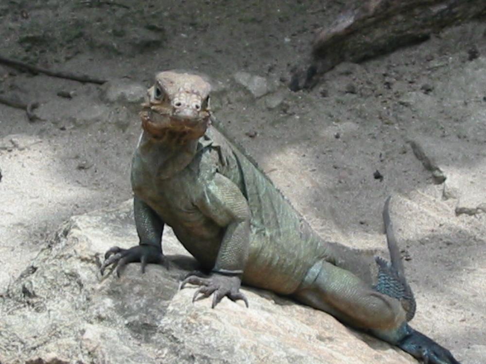 Iguane