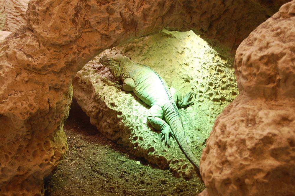 Iguane Cornu