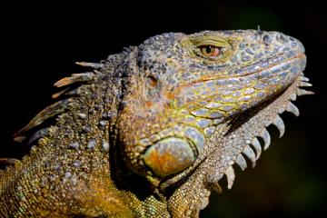 Iguane en veille
