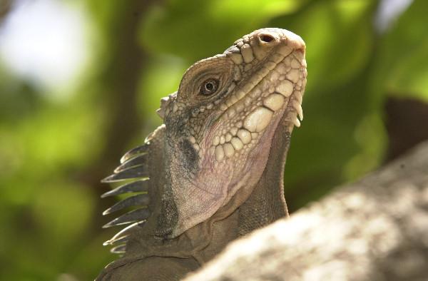 Iguane sur Petite-Terre en Guadeloupe
