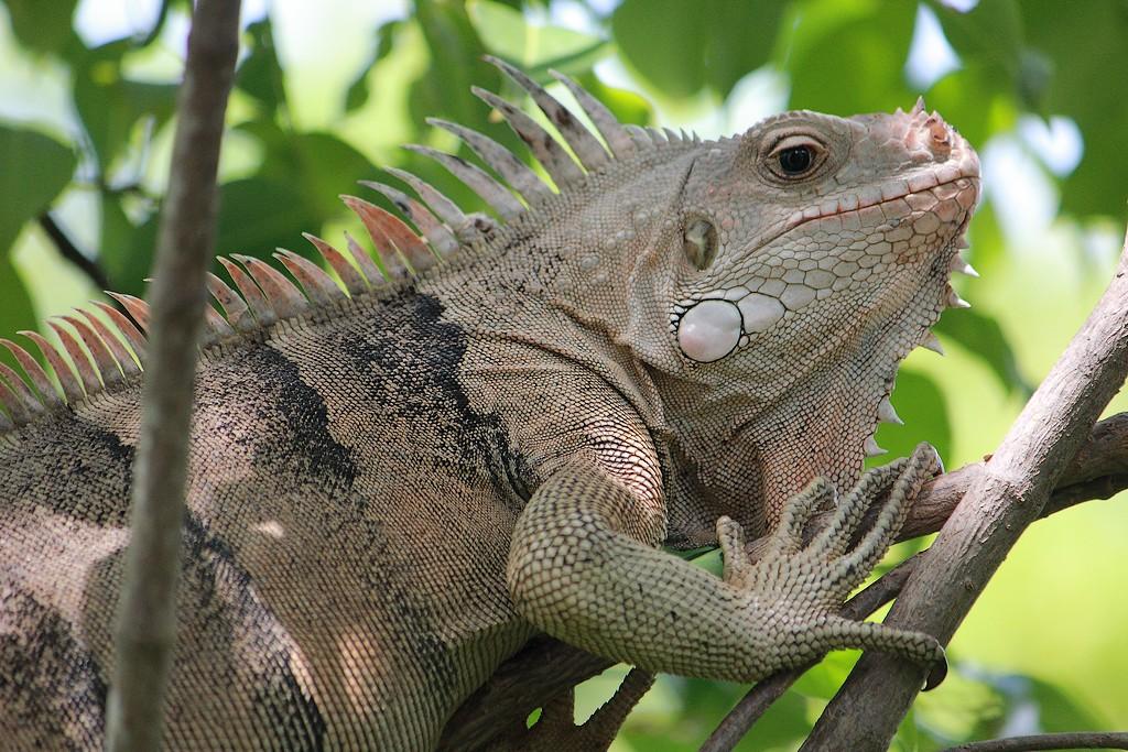 Iguane sur Tobago Cays