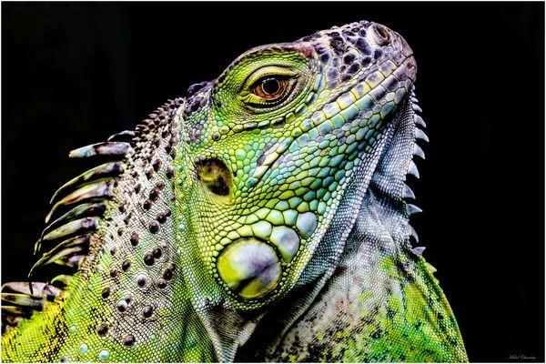 Iguane vert  ou commun