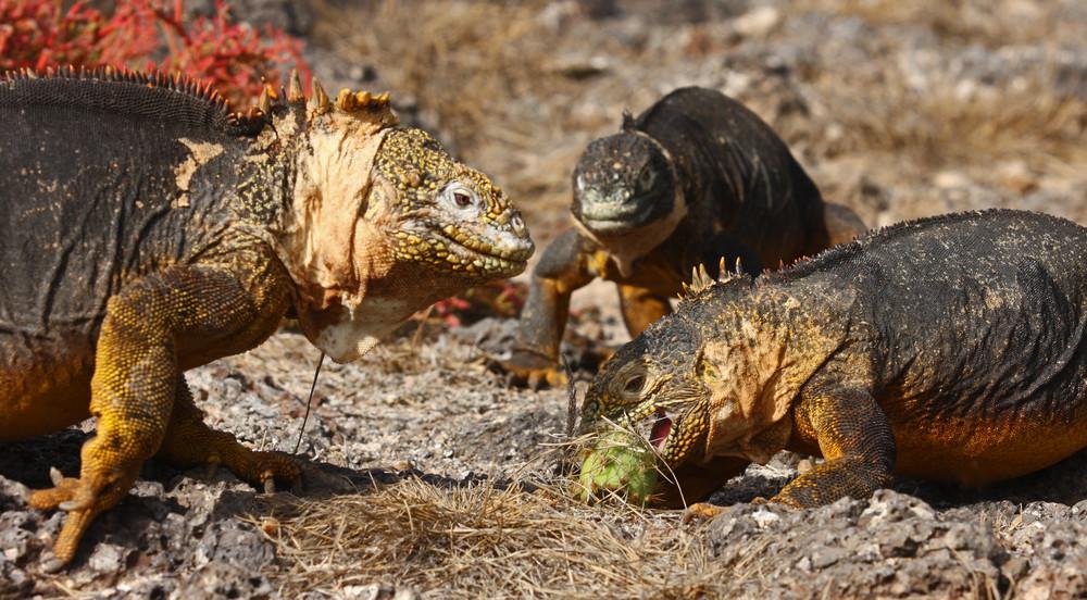 Iguanes terrestres des Galapagos