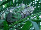 iguanne voyage en guadeloupe en 2007