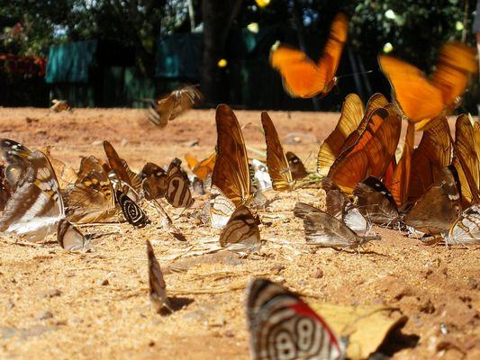 Iguaçubutterflies