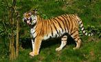 iiih, wie hässlich Menschen....  ( Tiger )