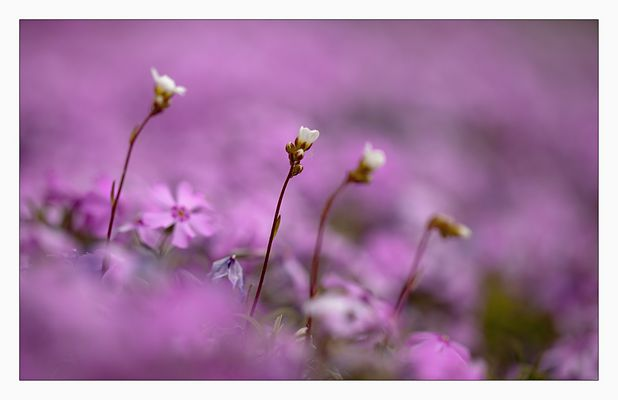 iiii in rosa