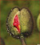 Il baccello del papavero