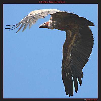 Il battito d'ala del grifone