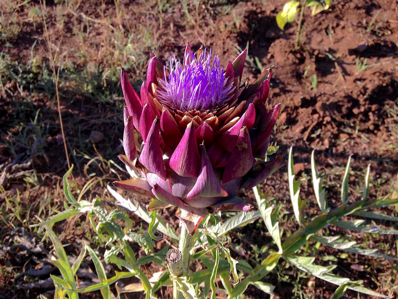il bellissimo Fiore di Carciofo