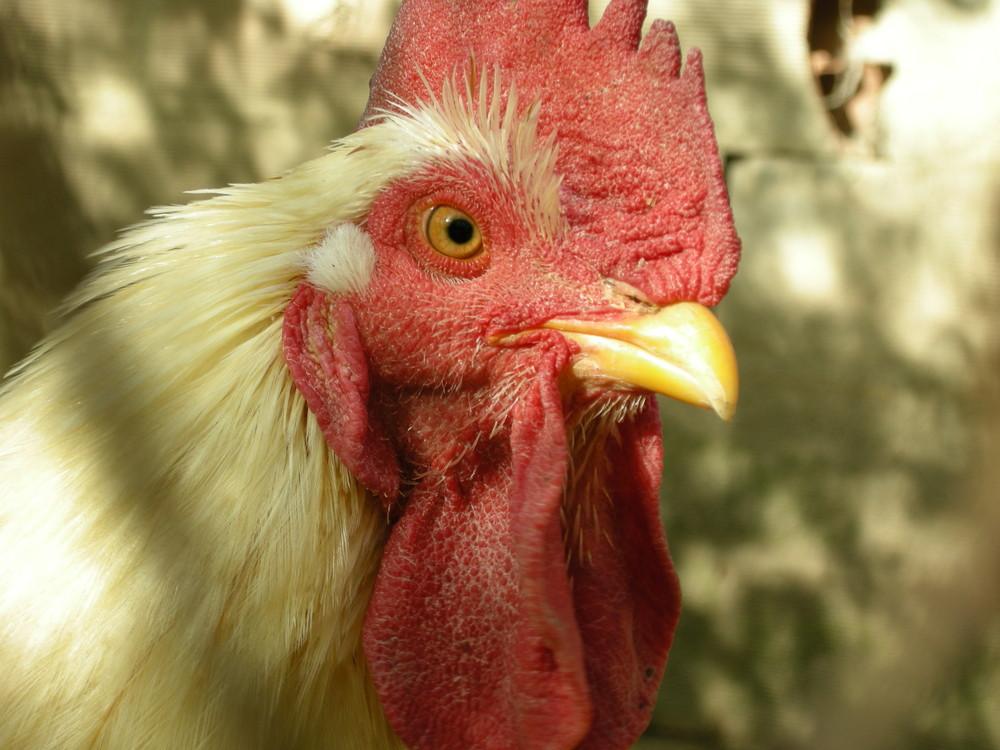 Il Brad Pitt del pollaio