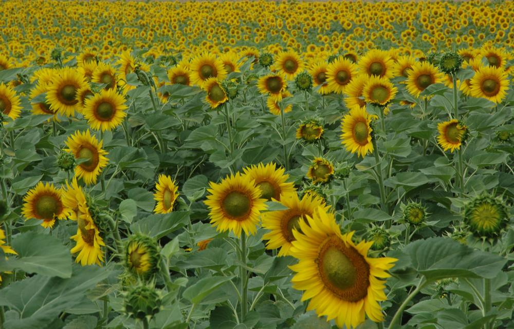 Matrimonio Girasoli Van Gogh : Il campo di girasoli foto immagini paesaggi campagna