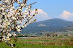 ... il ciliegio porta la primavera a Capalbio...