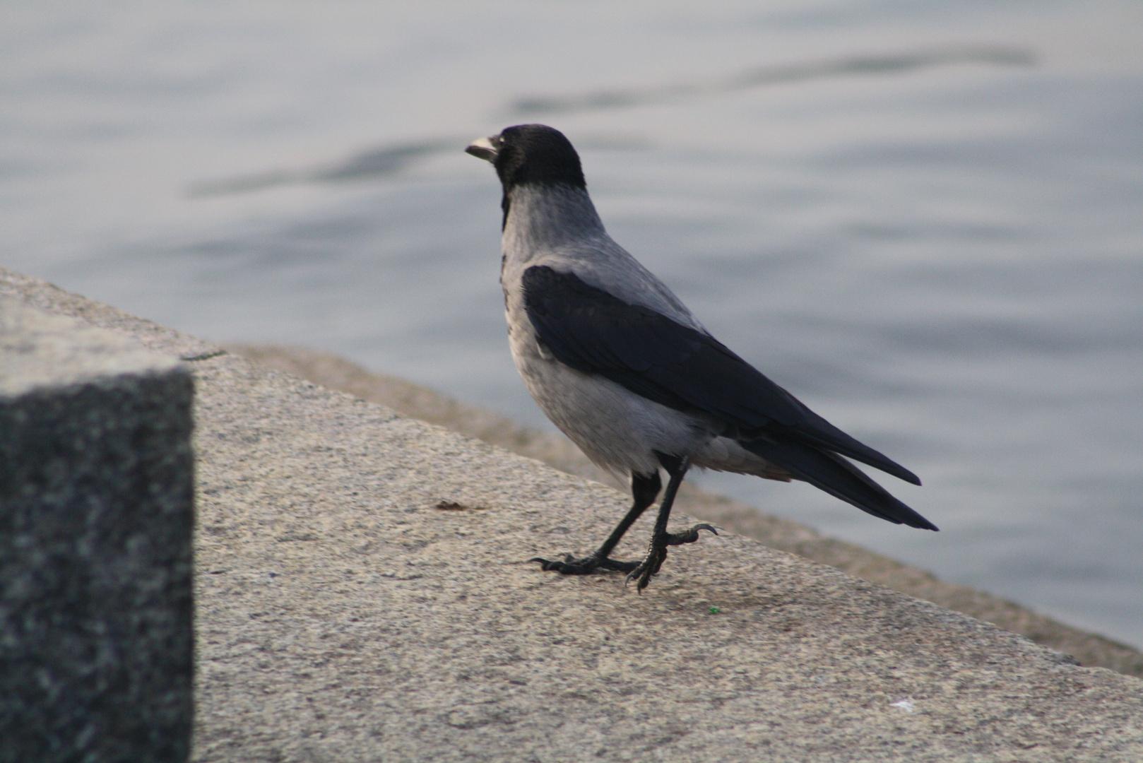 il corvo sul lago