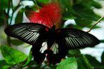 il dorso della farfalla BNe rossa