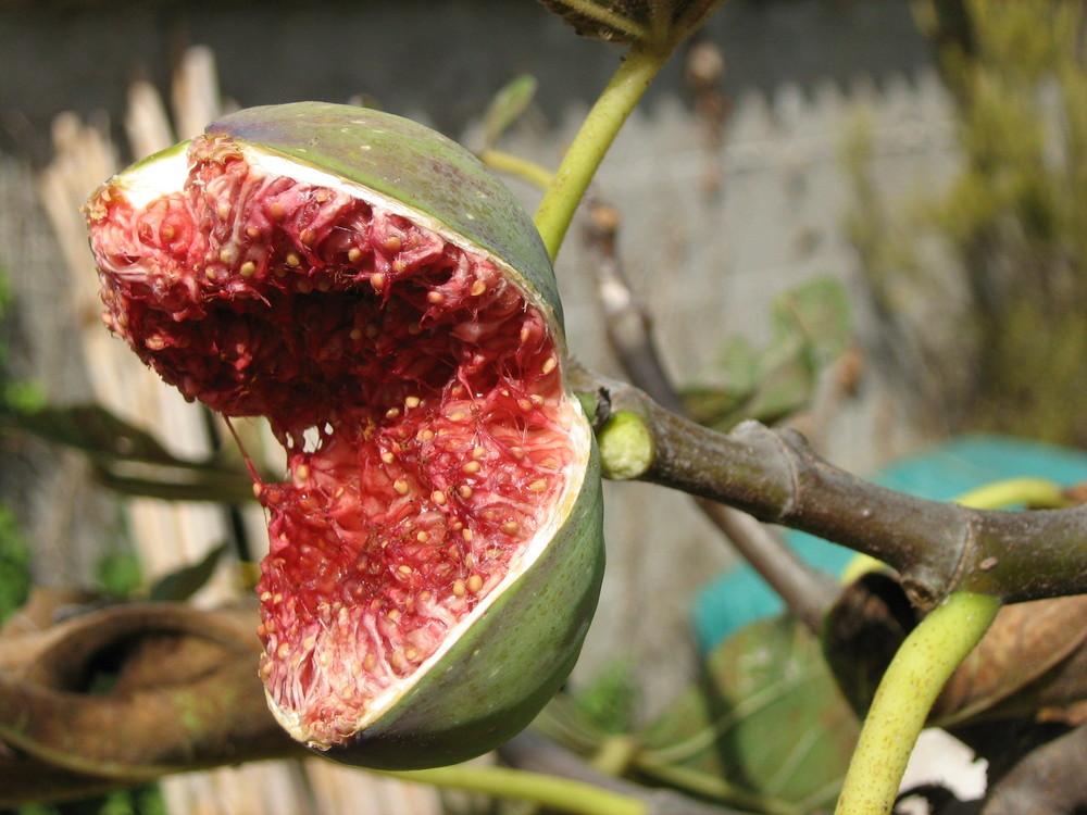 il fico assasino Foto % Immagini piante, fiori e funghi, varie, natura Foto ...