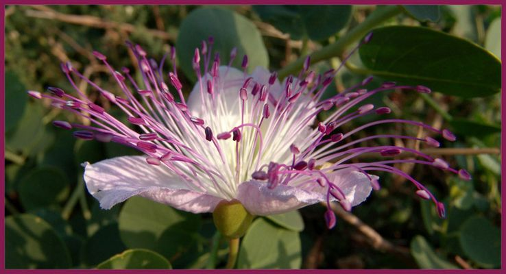 Il fiore del cappero selvatico
