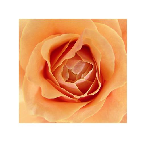 il fiore [die blüte]