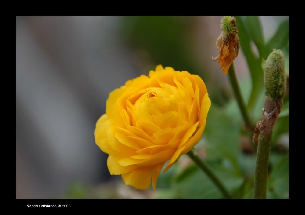 Il fiore...quello giallo