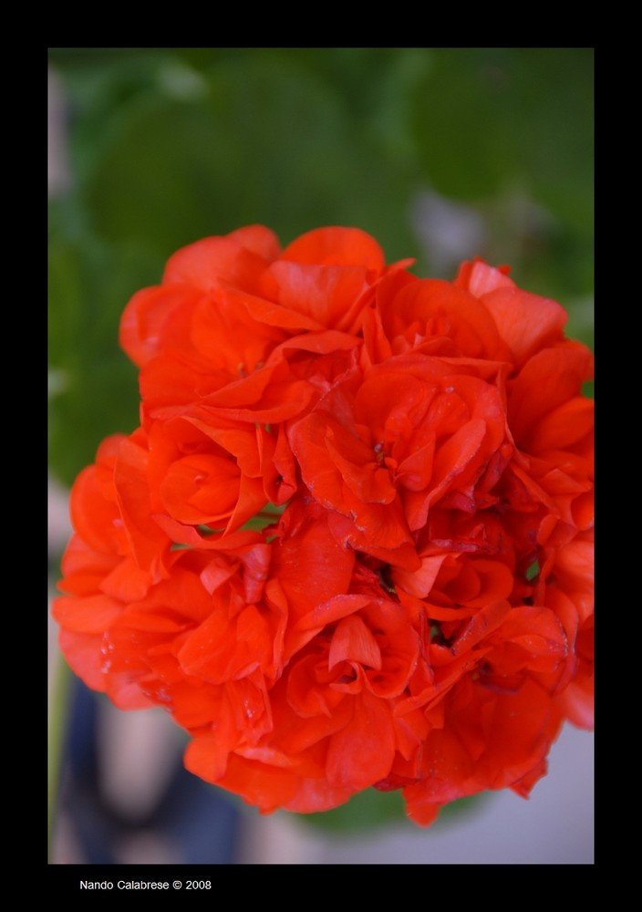 Il fiore...quello rosso