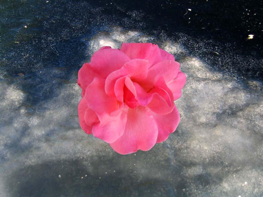 Il ghiaccio e la rosa