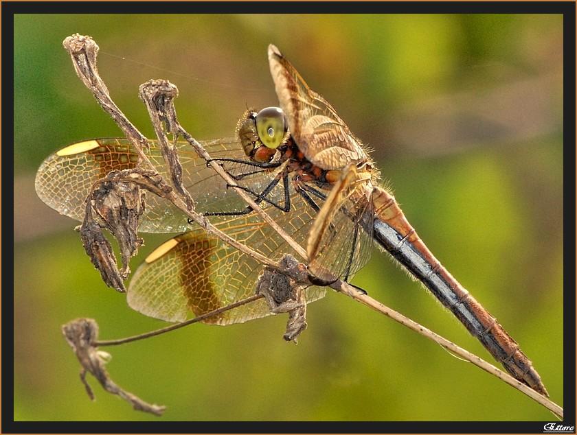 Il ghigno della libellula
