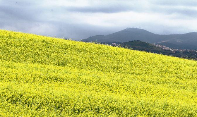 il giallo nel campo
