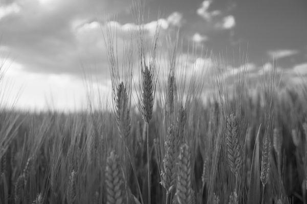 Il grano.............B&N