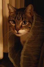 Il mio gatto ha preso il velo