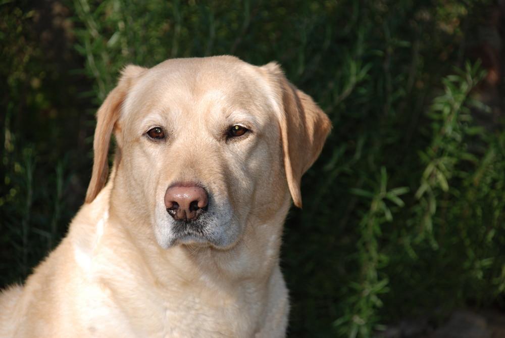 Il mio Labrador ( femmina di 8 anni )