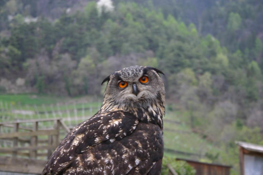 il mio pikkolo gufo di Dorf Tirol (BZ)