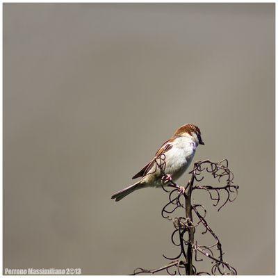 Il passero solitario