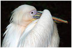 il pellicano.....bianco