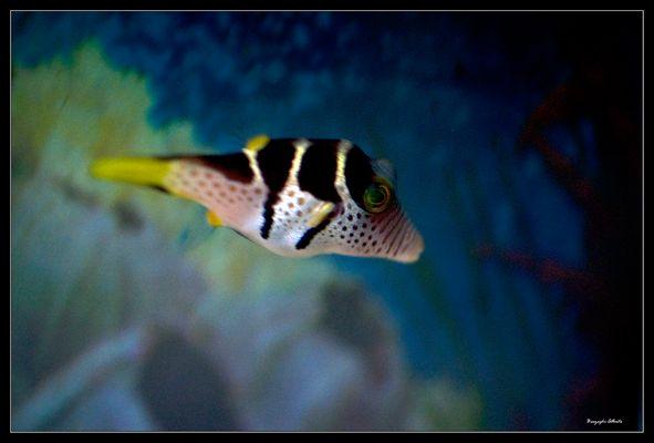 il pesce palla
