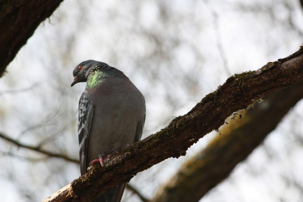 Il piccione viaggiatore si riposa