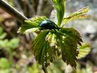 il piccolo scarafaggio verde