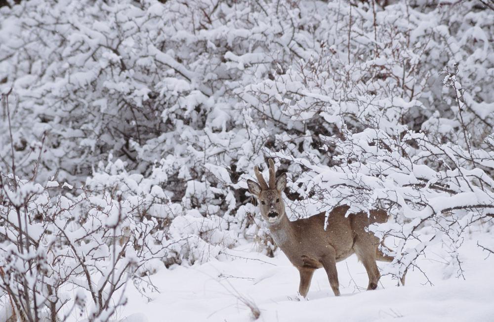 Il principe della neve foto immagini animali for Foto per desktop inverno