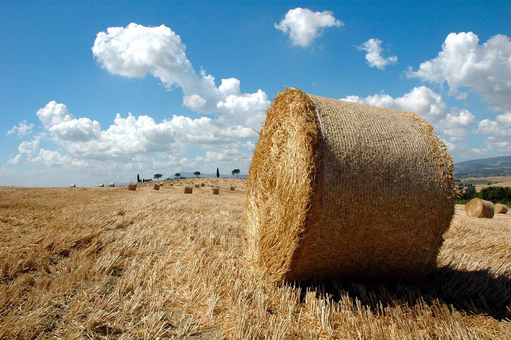 il taglio del grano