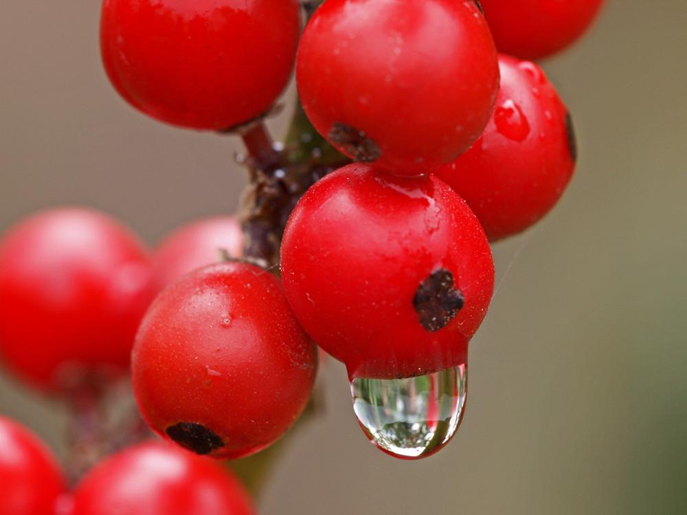 Ilex Früchte im Regen