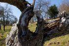 im alten Apfelbaum