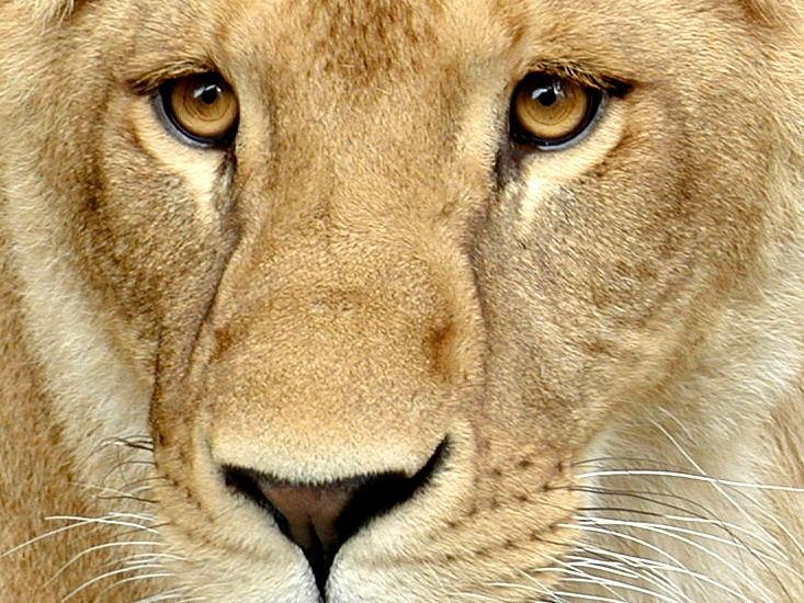 im auge der löwin
