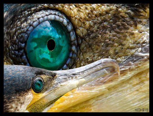 Im Auge des Cormoran